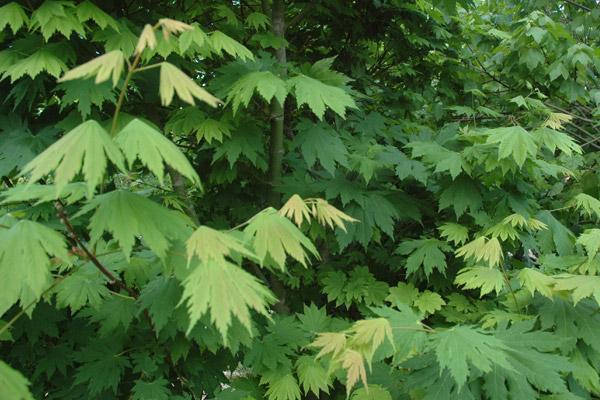 Acer Semi Mature And Mature Acer Japonicum Vitifolium