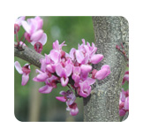Cercis candensis