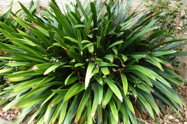 Clivia Semimature and mature Clivia miniata