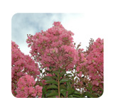 Lagerstroemia Indian Summer Souix