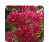 Lagerstroemia Indian Summer Tonto