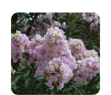 Lagerstroemia Indian Summer 'Yuma'