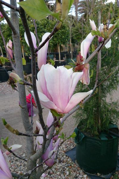 Magnolia Semi Mature And Mature Magnolia Heaven Scent