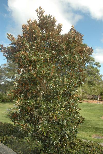 Magnolia Grandiflora Semi Mature And Mature Magnolia Grandiflora