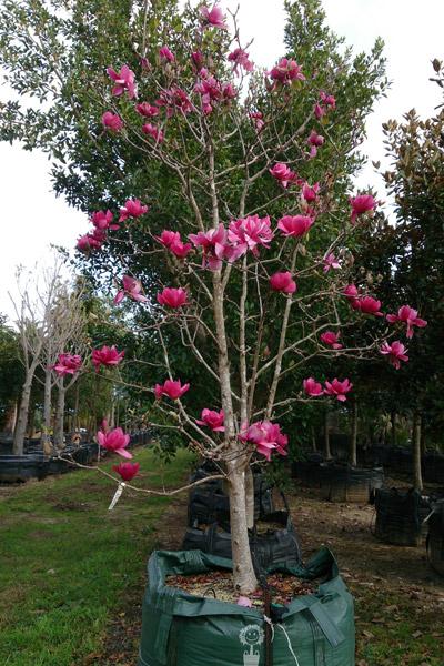 Magnoliadeciduous Semi Mature And Mature Magnolia Vulcan