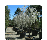 Prunus x subhirtella 'Snow Fountain'